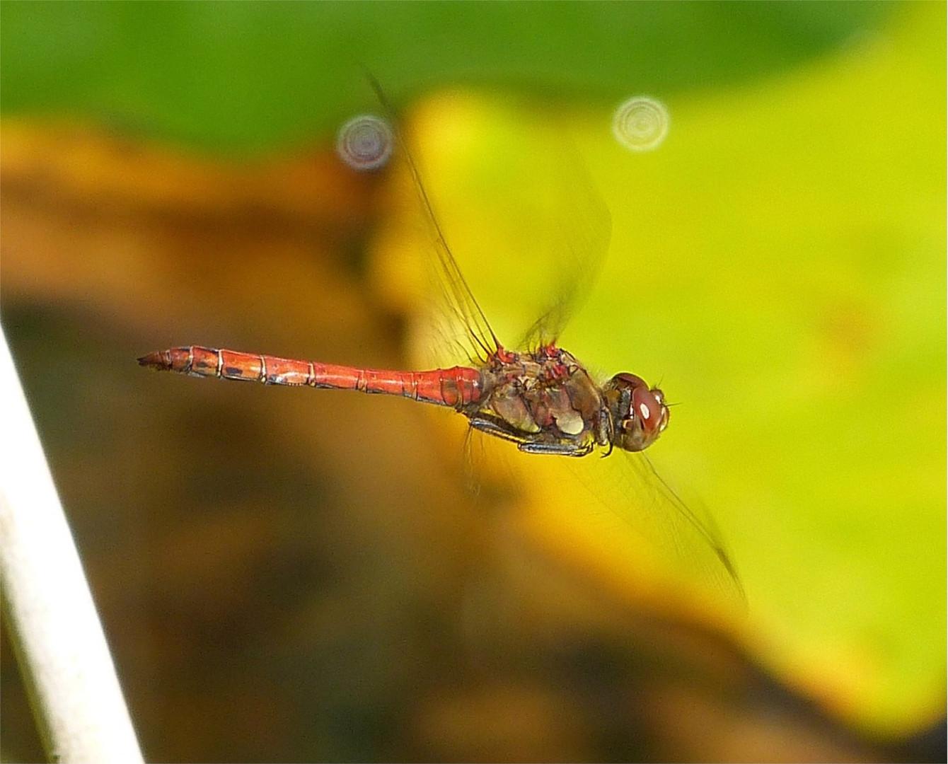 Libelle 32