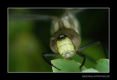Libelle-4