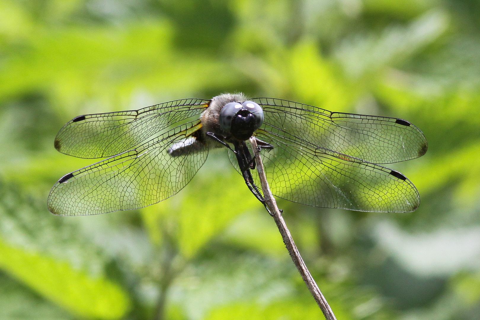 Libelle 5