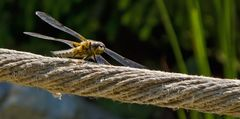 Libelle als Möchtegern- Hochseilakrobatin!