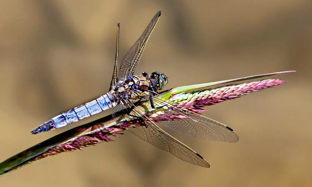 Libelle am Bockernteich