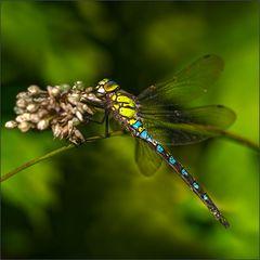 libelle am morgen