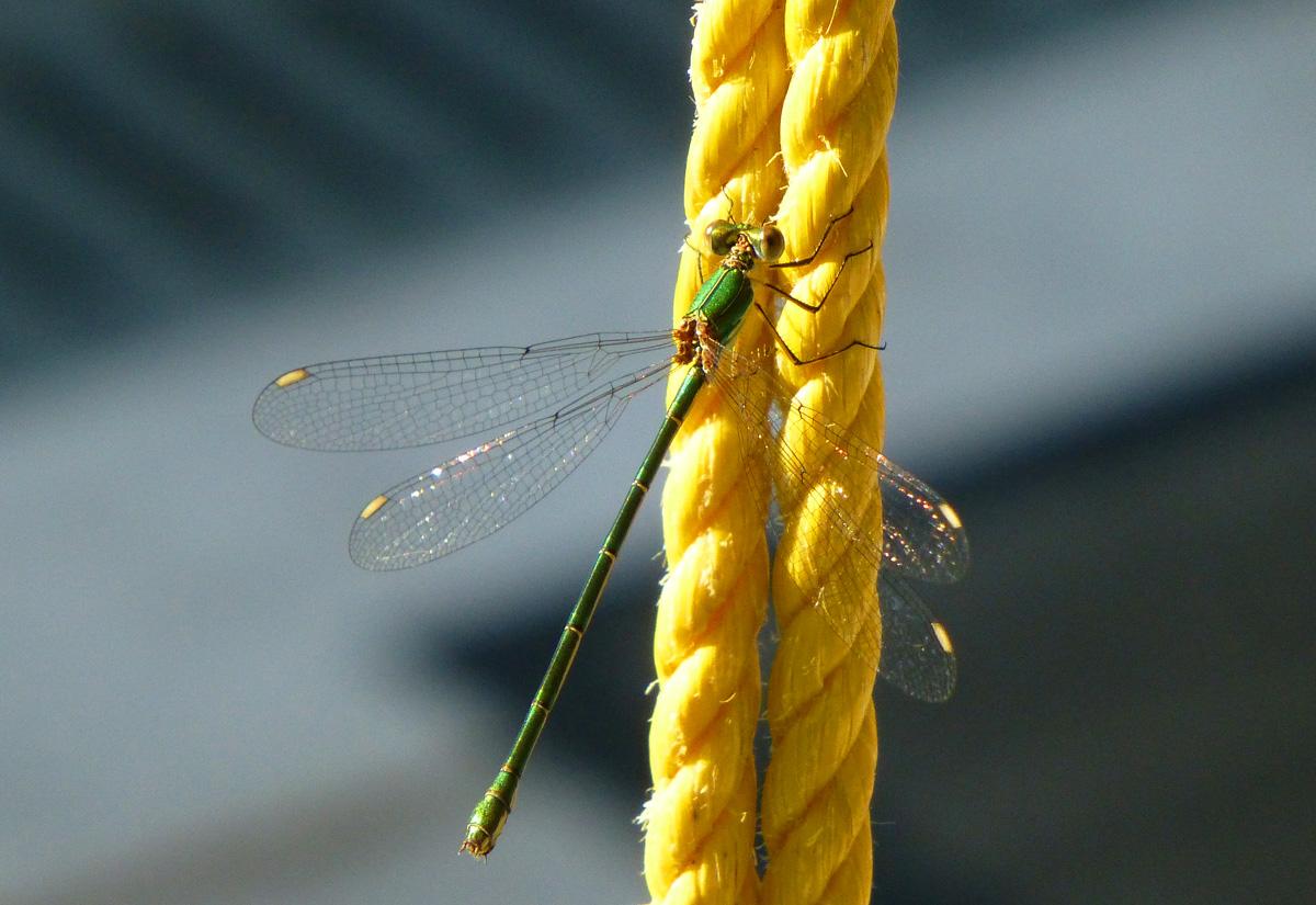 Libelle am Seil