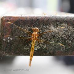Libelle an der Parkbank