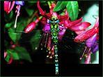 Libelle an Fuchsie