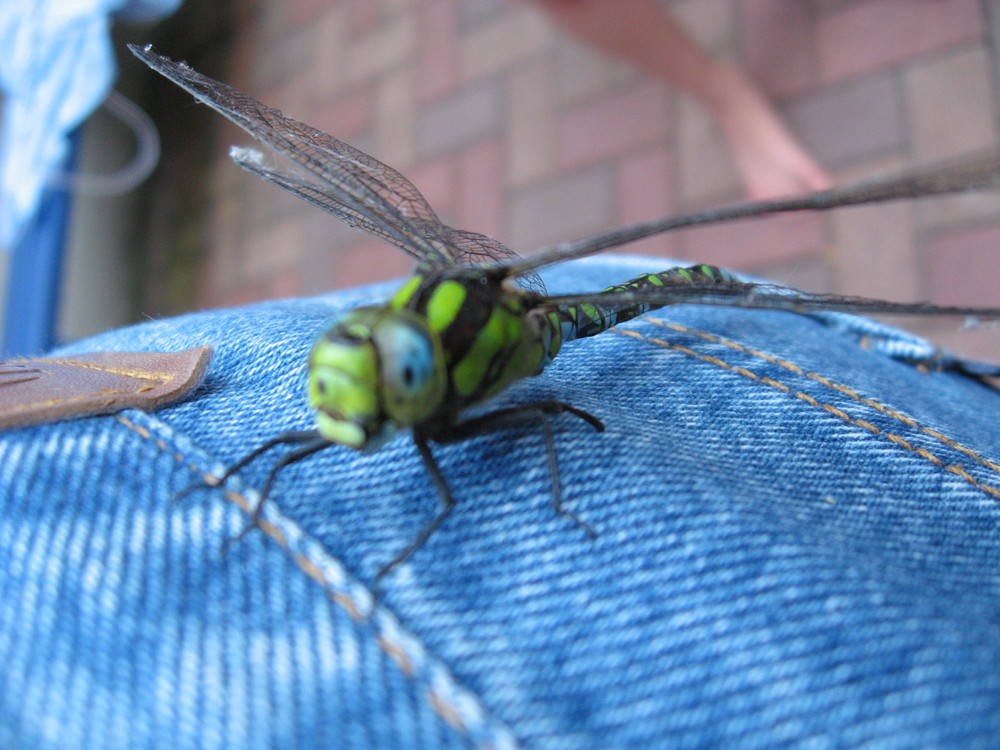 Libelle an Jeans