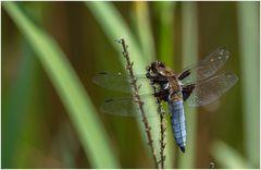 Libelle an meinem Teich