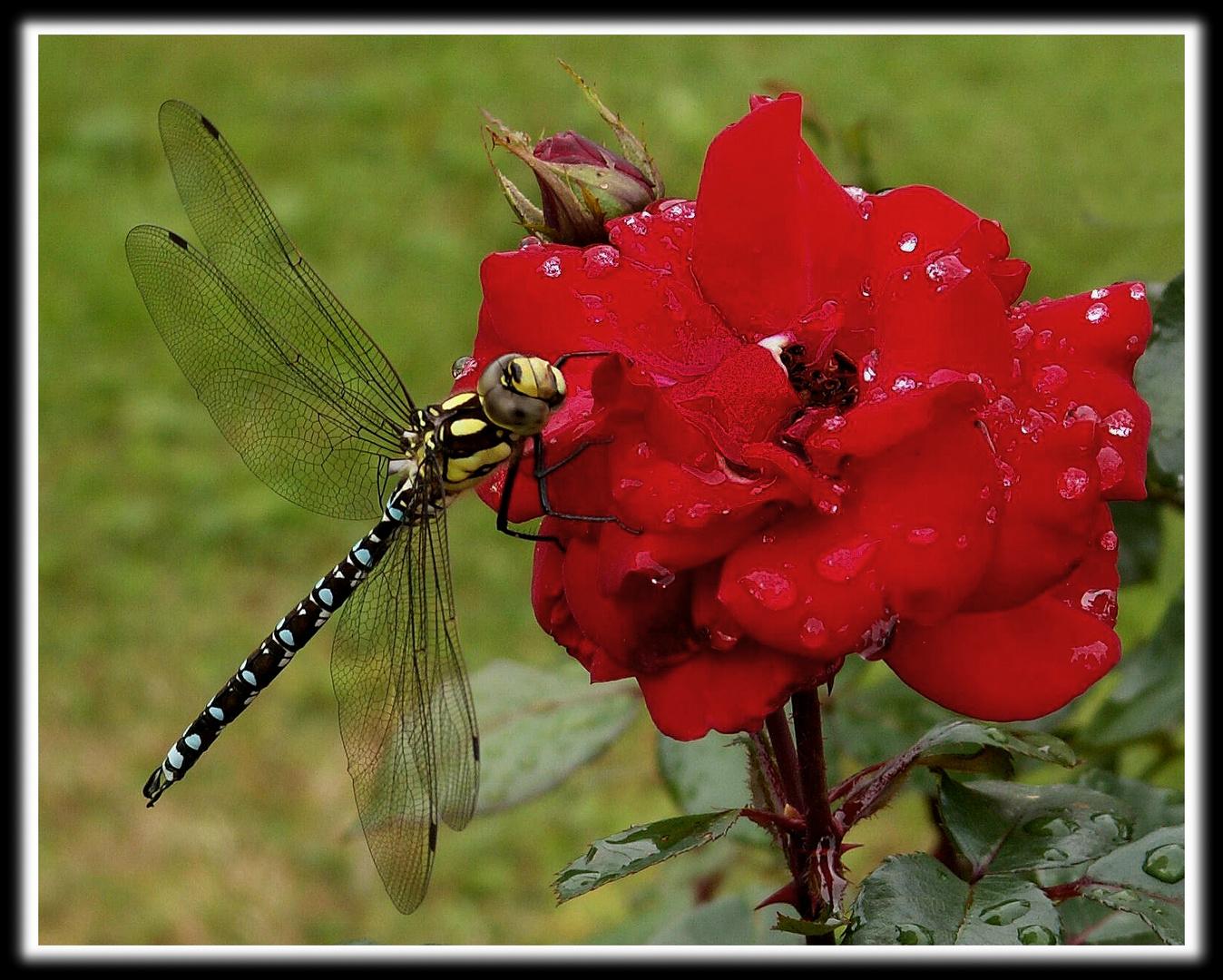 Libelle an Rose
