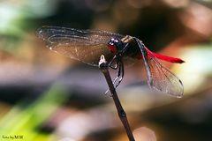 Libelle auf Borneo