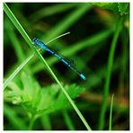 Libelle auf dem Grashalm