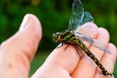 Libelle auf der Hand