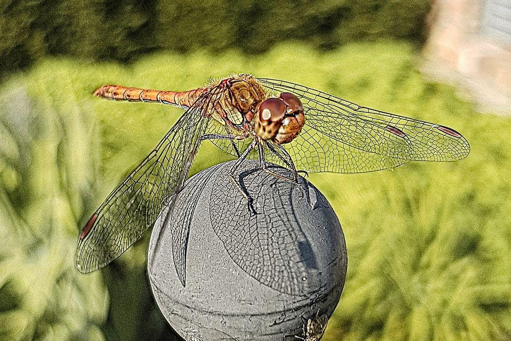 Libelle auf der Kugel