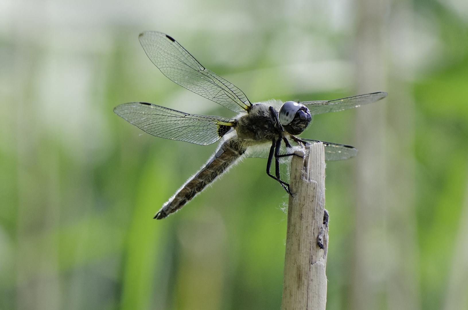 Libelle auf einem Schilfstängel, seitlich