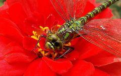 Libelle auf einer Blüte