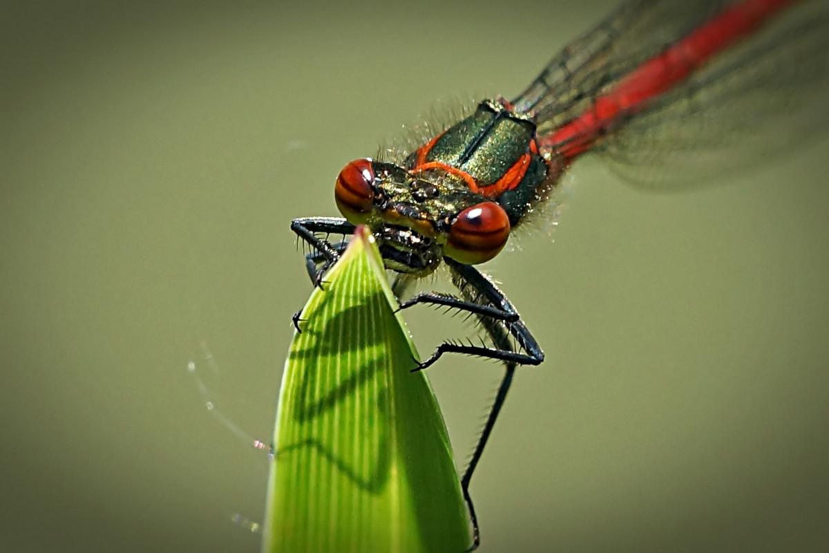 Libelle auf Grashalm