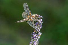 Libelle auf Lavendel I