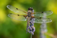 Libelle auf Lavendel II
