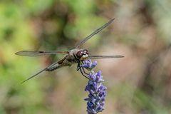 Libelle auf Lavendel III