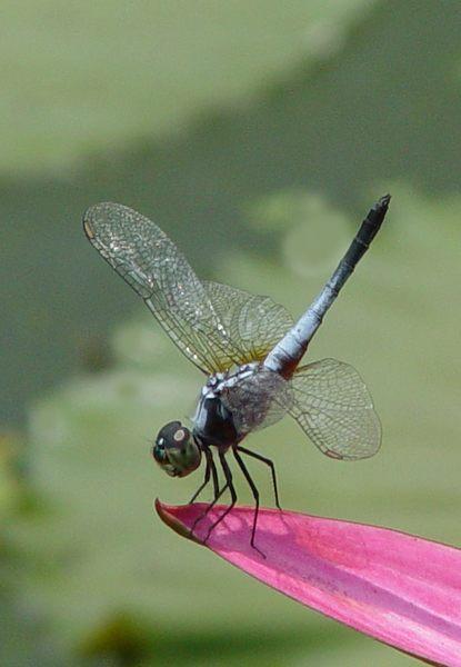 Libelle auf Lotus