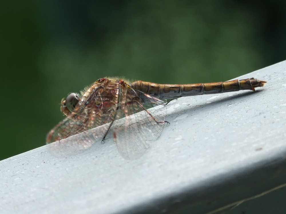 Libelle auf meinem Balkon