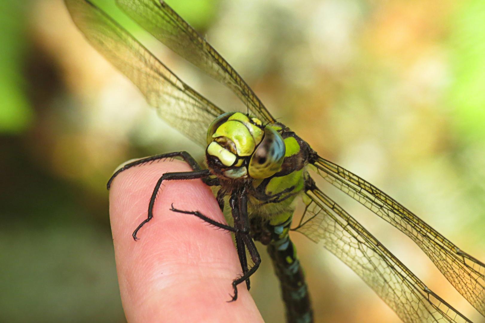 Libelle auf meinem Finger