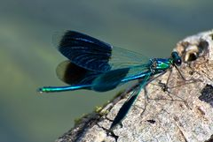 Libelle auf Schwemmholz
