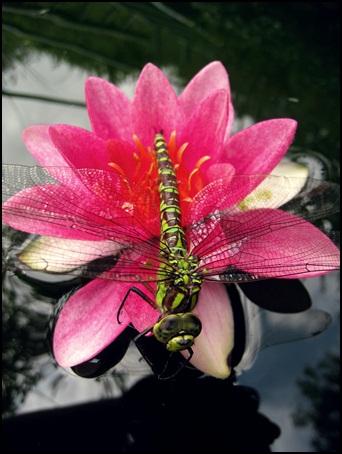 Libelle auf Seerose