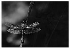 Libelle aus dem Moor