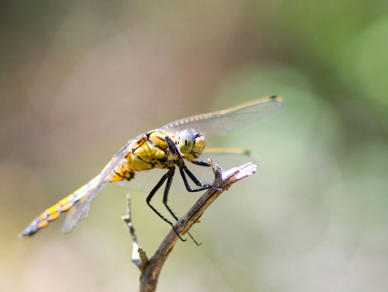 Libelle aus der Camargue....