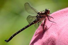 Libelle bei Verschnaufpause