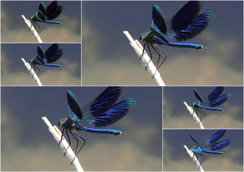 Libelle beim Flügelschlag