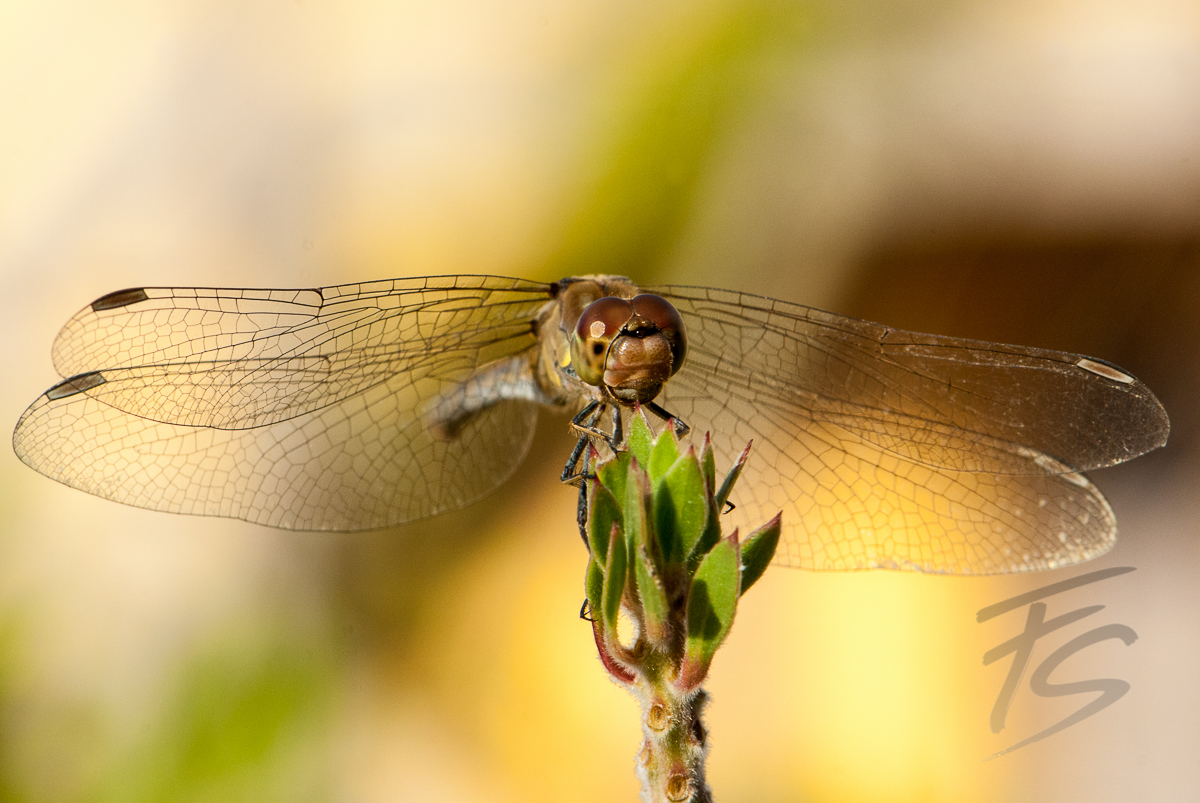 Libelle beim Sonnenbad 1