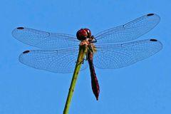 Libelle blau