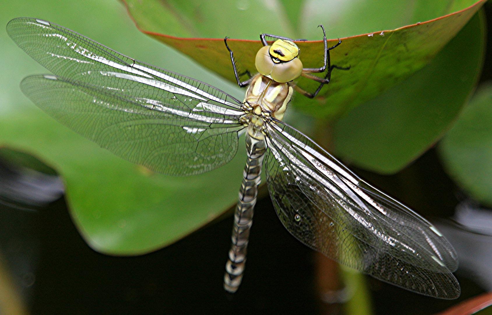 Libelle (Blaugrüne Mosaikjungfer)