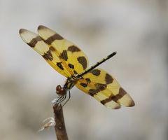 Libelle, Florida, USA
