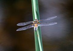 Libelle - Großer Blaupfeil