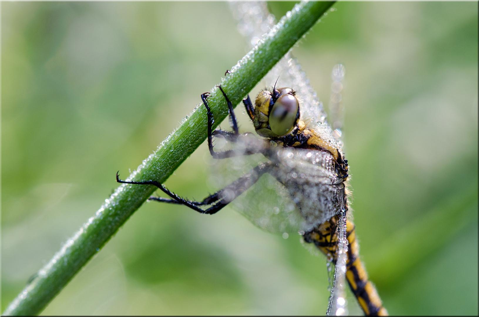 Libelle (großer Blaupfeil)