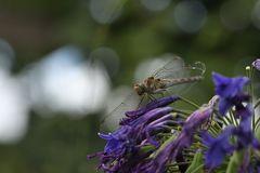 Libelle im Berggarten Hannover