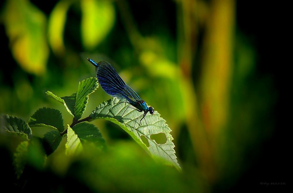 Libelle im blauen Kleid