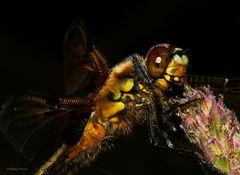Libelle im Detail