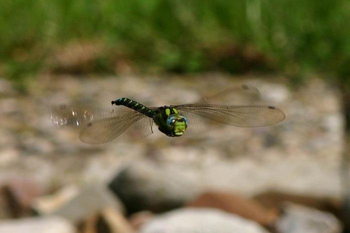 Libelle im Flug an unserem Teich