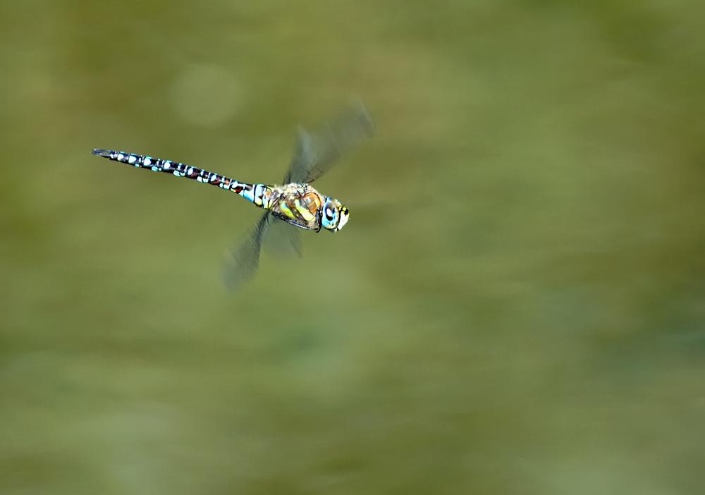 Libelle im Flug .