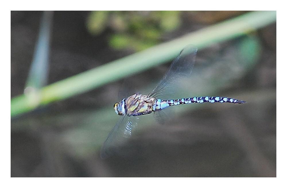 Libelle im Flug...