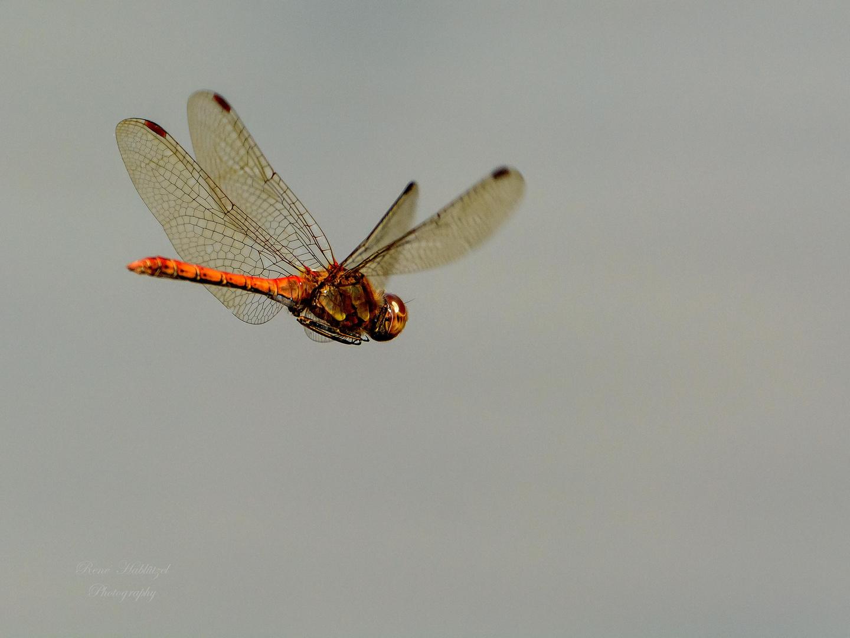 Libelle im Fluge