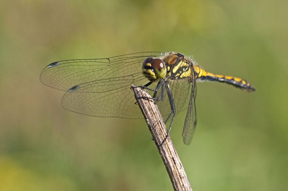 Libelle im Fockbeker Moor II