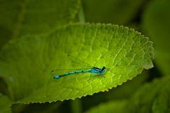 Libelle im Grünen