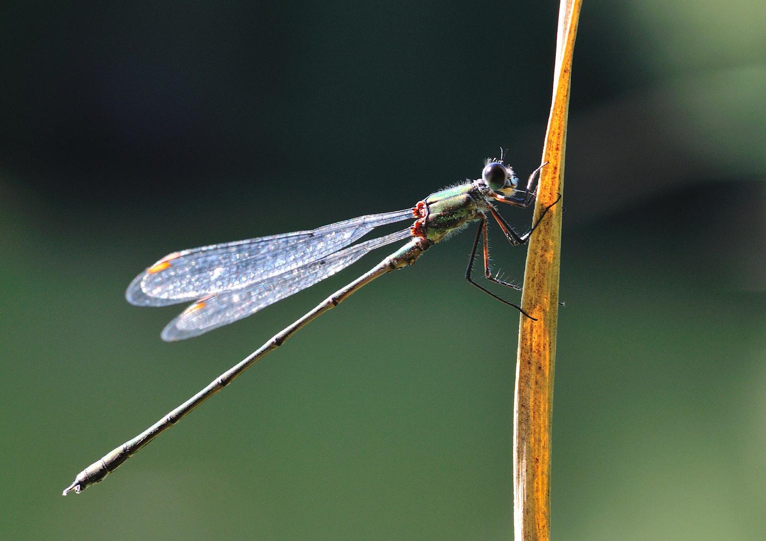 Libelle im letzten Licht, eine Weidenjungfer