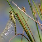 Libelle im Moor