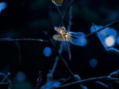 Libelle im Morgenlicht