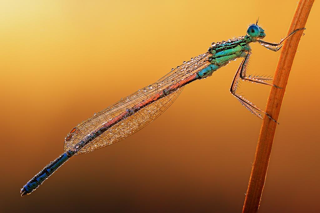 Libelle im Morgentau